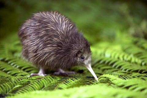 A baby Kiwi. You are not allowed to eat these! Photo stolen from fruitsbenefits.com.